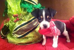 Meet Knox, an adoptable Chihuahua looking for a forever home. If you're looking for a new pet to adopt or want information on how to get involved with adoptable pets, Petfinder.com is a great resource.