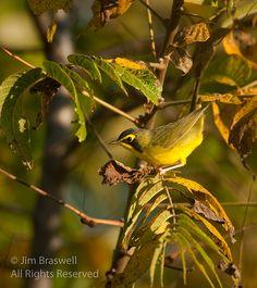 Kentucky Warbler (Oporornis formosus)