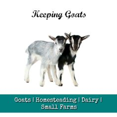 Goats | Homesteading | Dairy | Small Farms Keeping Goats, My Dairy, Small Farm, Farms, Homesteading, Poster, Animals, Haciendas, Animales