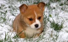 Brown Baby Corgi Puppies in Snow Baby Corgi, Cute Corgi Puppy, Welsh Corgi Puppies, Cute Puppies, Dogs And Puppies, Teacup Puppies, Shepherd Puppies, Puggle Puppies, Puppies Tips