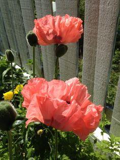 Kveldshilsen fra hagen - jeg måtte hilse på de nydelige valmuene i dag også  :) / I had to have a second look at my poppies this evening :)  28.5.2014 / IJ