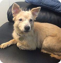 Pictures of Brianna a American Eskimo Dog/Sheltie, Shetland Sheepdog Mix for adoption in Oak Ridge, NJ who needs a loving home.