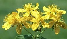 Prirodni lijek: Gospina trava ili kantarion