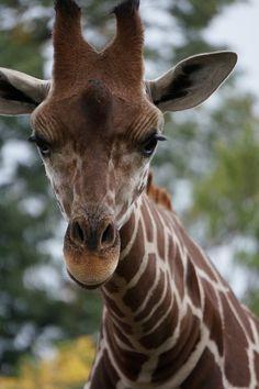 キリン。【埼玉県こども動物自然公園】|★カメラのキタムラ公式ブログ★