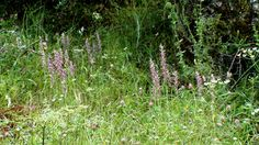 Group of Anacamptis sancta (Holy orchid) seen at Okçular on 14 May 2011