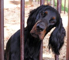 Caitlyn, a Gordon Setter Pup, what a little sweetie I Love Dogs, Puppy Love, Animals And Pets, Cute Animals, Red And White Setter, Dogs And Puppies, Doggies, Gordon Setter, Cocker