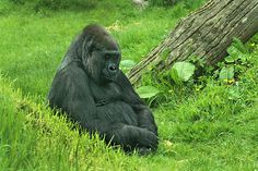 Gorilla at Durrell Wildlife Conservation Park on the British Isle of Jersey, where research is done on endangered species
