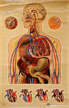 Human Anatomy/Circulation, educational plate/vintage poster.