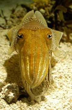 cuttlefish                                                                                                                                                      More