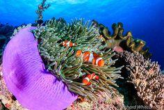 #Clownfish in #purple #anemone #philippines by WhitcombeRD