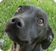 St Petersburg, FL - Labrador Retriever Mix. Meet Orion, a puppy for adoption. http://www.adoptapet.com/pet/12197735-st-petersburg-florida-labrador-retriever-mix
