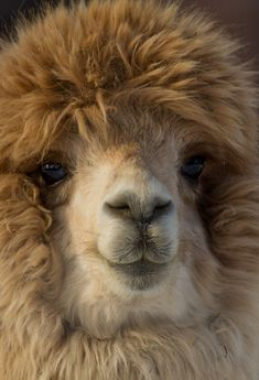 funkysafari:  Fuzzy Alpaca : need a pair of shears....and the ability to SPIN fiber!!!