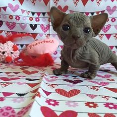 Celebrating Valentine's Day. | 26 Hairless Cats Making Regular Human Things Look Spectacular
