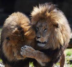 Dos leones juegan en su recinto del zoológico Hellabrunn de Munich, Alemania (Christof Stache, 2017)