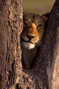 Lion in a tree by Paul Goldstein