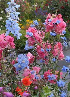 flowersgardenlove:    Antirrhinum 'Dbl. Az Flowers Garden Love