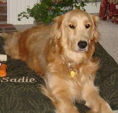 Google Afbeeldingen resultaat voor http://z.about.com/d/dogs/1/0/F/r/2/sadie_gold_bed.jpg