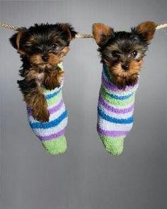 I love Yorkshire terriers! #yorkshireterrier