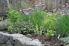 Herb garden with Thyme (Thymus 'Aureus'), Purple Sage (Salvia officinalis 'Purpurea'), Onion Chives (Allium schoenoprasum), Green Sage (Salvia officinalis), Oregano (Origanum vulgare) and Cilantro (Coriandrum).