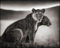 http://cdni1.1stdibs.com/Sitting Lionesses, Serengeti, 2002
