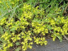 つるまんねんぐさ(ベンケイソウ科) 道端に這いつくばって群生しています。お星さまみたいな黄色い花びらが、びっしりとかたまって咲いています。とっても強い子なんですよ♪