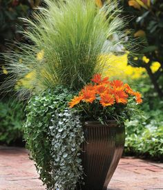 Ornamental Grass, Dichondra and Gazania