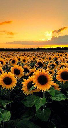 gelbe Sonnenblumen und Himmel – Bilder – … yellow sunflowers and sky – Pictures – …, Sunflower Fields, Yellow Sunflower, Field Of Sunflowers, Sunflower Garden, Sunflowers Tumblr, Sunflower Flower, Paintings Of Sunflowers, Sunflower Black And White, Wild Sunflower