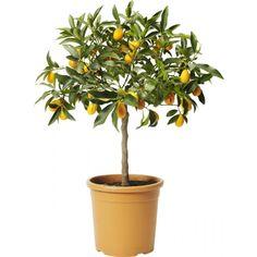 Sitrusplante mix sorter på stamme.kjøkkeenet?kan etastt! Birthday Wishes, Planter Pots, Herbs, Architecture, Arquitetura, Special Birthday Wishes, Herb, Architecture Design, Birthday Greetings