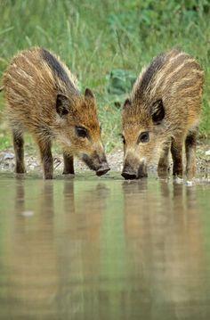 Frischlinge trinken Wasser an einem kleinen Weiher - (Wildschwein - Schwarzwild), Sus scrofa, Wild Boar piglets standing at a little forest pond & drinking water - (Wild Hog - Feral Pig)