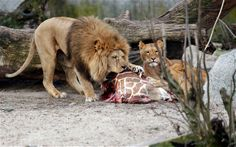 The carcass of Marius, a male giraffe, is eaten by lions after he was put down in Copenhagen Zoo; now two lions and their two 10-month-old cubs, all from the same family, were put down on Monday to make way for a new male after the zoo failed to find a new home for the felines. #zoos #zoo #animals #animalrights #govegan