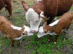 Check out http://ohiominiherefords.com!  Small farms need miniature Hereford cows