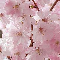 Prunus subhirtella - 'Autumnalis Rosea': Ideal as a specimen tree in a lawn or border.The flowering cherry will tolerate most fertile garden soils in full or part sun. Allow this tree to grow freely as a specimen and avoid pruning if possible Garden Soil, Gardening, Specimen Trees, Prunus, Garden Ideas, Dreams, Tips, Flowers, Pictures