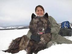 Pesant  143 kilos, ce mâle a été capturé le 15 janvier dans la vallée de Pelican, Parc National de Yellowstone. Le loup est le plus lourd jamais pesé dans le parc. Posant avec  Erin Albers. Il était tranquilisé pour la pesée