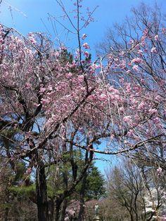 Sakura at my Univ.