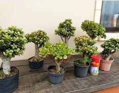 Jade Plant Bonsai, Jade Plants, Bonsai Art, Bonsai Garden, Cacti And Succulents, Planting Succulents, Mini Cactus Garden, Outdoor Greenhouse, Crassula Ovata