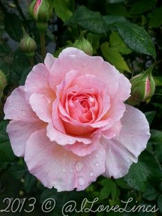 Rosa 'James Galway' in the rain