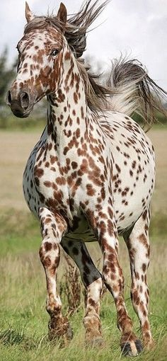 Gorgeous spotted horse running, I love those spots!