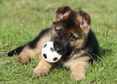 42 photos de bergers allemands qui vont vous donner envie d'en adopter un…