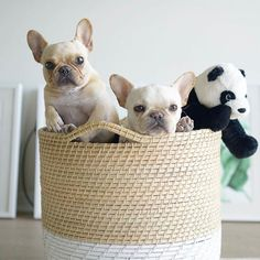 2 Frenchies and Panda, French Bulldogs, @frenchieleo on Instagram