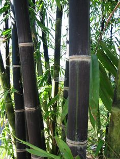 A landscapers dream: Timor Black - bambusa Lako, a clumping bamboo, not suitable for frost areas