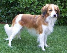 Kooikerhondje: dog breed from the Netherlands.