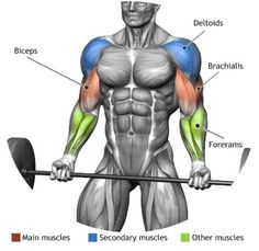 BICEPS - BARBELL CURL