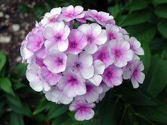 12 best beautiful flower names images on pinterest beautiful phlox flowers name phlox flowers origin colour of phlox flowers phlox flowers availability seasonal of phlox flowers mightylinksfo