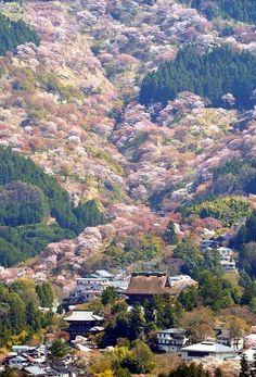 Wild cherry trees in #Yoshino, Nara, Japan