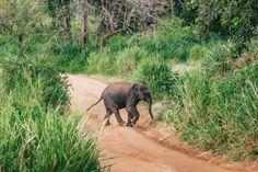 Elephant Safari, Minneriya National Park