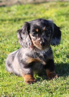 long haired dachshund LAECHELON Belgian Shepherds and Miniature Long Haired Dachshunds - Fed onto Cute Animals Album in Animals Category Dachshund Breed, Dachshund Funny, Dapple Dachshund, Dachshund Love, Long Haired Miniature Dachshund, Miniature Dachshunds, Cute Puppies, Cute Dogs, Dogs And Puppies