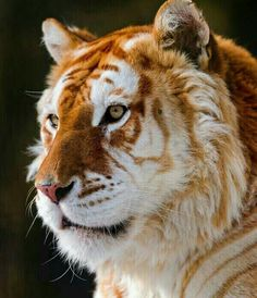 Golden Tiger. There are fewer than 30 of these rare tigers left in the world