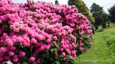 Rhododendrons in full show