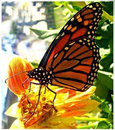 Monarch  8x10 Photograph by CarissaLynn on Etsy, $20.00