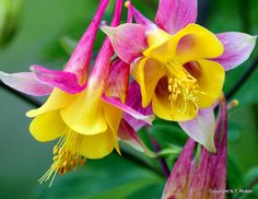 NTFlicker | Variegated | bright + pink yellow green + flower columbine